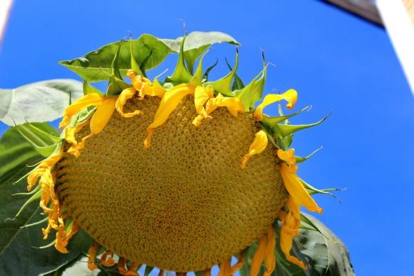 Sunflower_resize