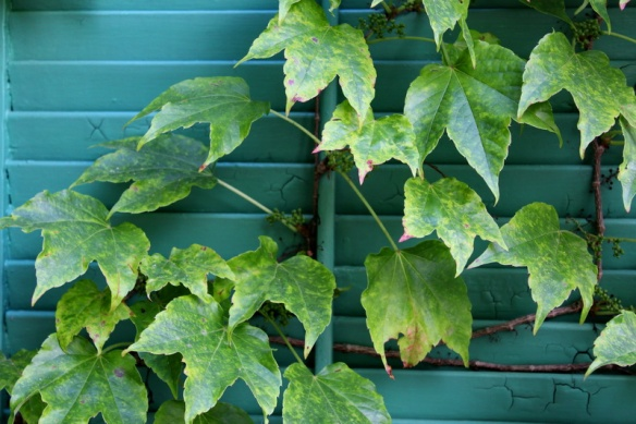 ivy on the shutters_resize