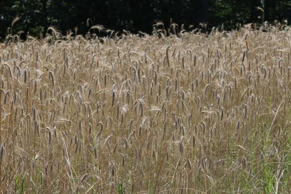 Summer wheat_resize