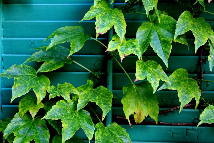 ivy on the shutters late afternoon.JPG