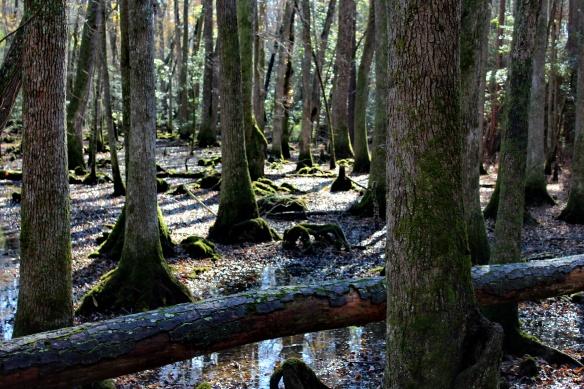 blackwater swamp.JPG