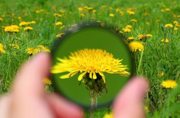 looking through magnifier on dandelion