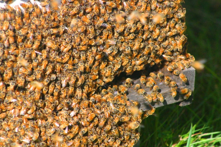 Bees_resize